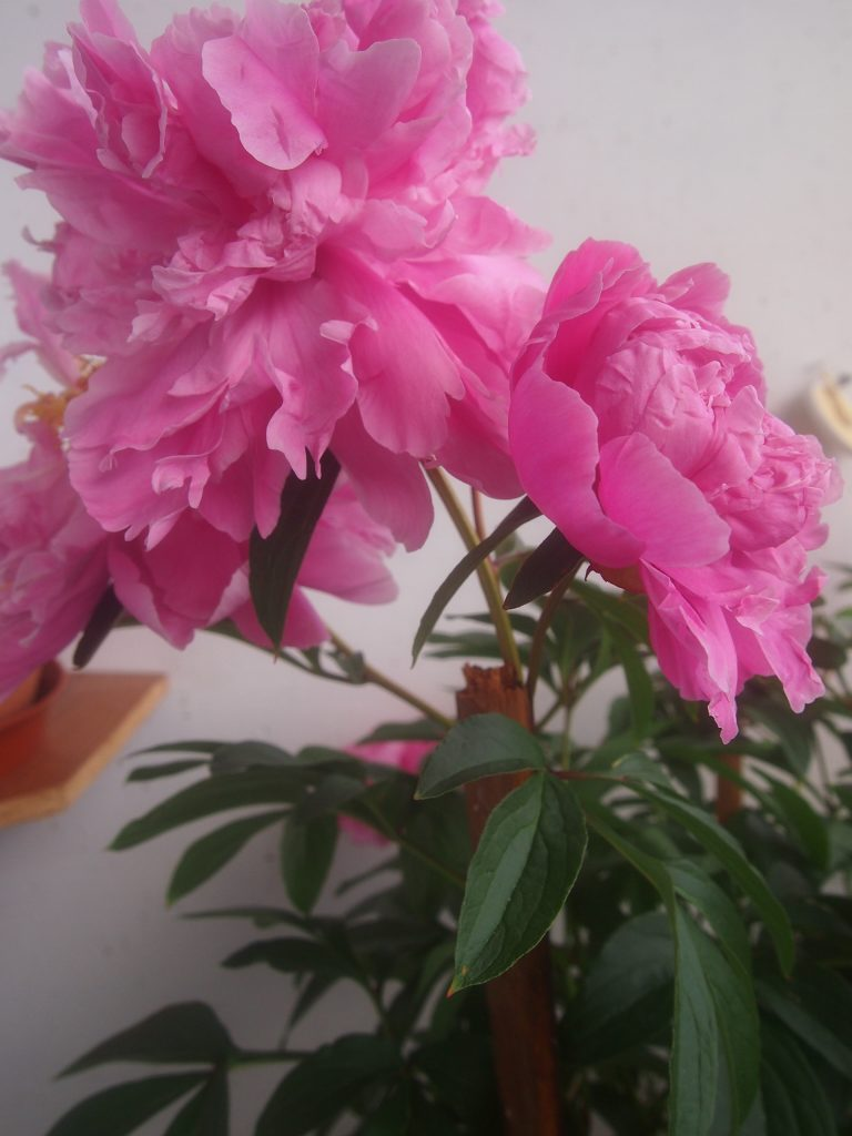 This is my own peony. I was so proud of it when it actually blossomed for the second year.